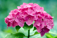 Grandiflora rosa blomningar av vanliga hortensian Arkivfoto