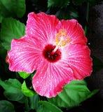 Grandiflora Thespesia Fotografering för Bildbyråer