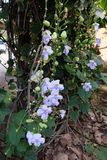 Grandiflora Thunbergia, Bengal klockavinranka, Bengal trumpet Arkivbilder