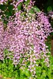 Grandiflora Thunbergia, Bengal klockavinranka, Bengal trumpet Royaltyfri Bild