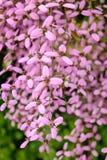 Grandiflora Thunbergia, Bengal klockavinranka, Bengal trumpet Royaltyfria Foton