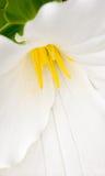 Grandiflorum bianco del Trillium fotografie stock libere da diritti