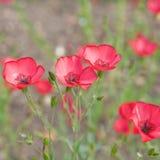 Grandiflorum de florecimiento de Linum foto de archivo libre de regalías