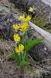 Grandiflorum del Erythronium, glaciar Lilly Fotos de archivo libres de regalías