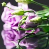 Grandiflorum do Eustoma de Lisianthus - flores e botões bonitos Foto de Stock