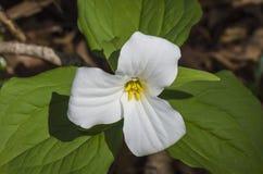 Grandiflorum do Trillium Foto de Stock Royalty Free