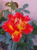 Beautiful rare and original garden rose ... stock photo