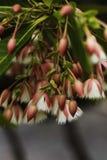 Grandiflorus d'Elaeocarpus Photos stock
