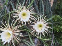 grandiflorus floreciente del Selenicereus de la flor Foto de archivo
