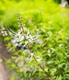 Grandiflorus Orthosiphon στον οργανικό κήπο Στοκ φωτογραφία με δικαίωμα ελεύθερης χρήσης