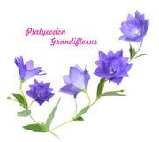 Grandiflorus Platycodon Стоковые Изображения RF