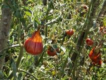 Grandini i pomodori nocivi con la muffa che si decompone su un albero del giardino Immagine Stock Libera da Diritti