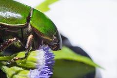 Grandis κανθάρων ή Anomala Scarab πράσινα Στοκ Εικόνες