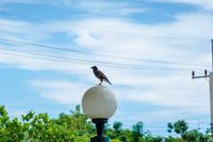 Grandis Acridotheres, grandis Acridotheres который живет в Таиланде Стоковое фото RF