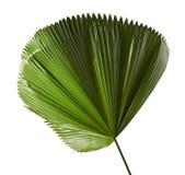 Grandis de Licuala ou palmette hérissée de fan, grand feuillage tropical, feuille plissée d'isolement sur le fond blanc image stock