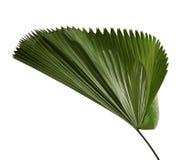 Grandis de Licuala ou palmette hérissée de fan, grand feuillage tropical, feuille plissée d'isolement sur le fond blanc photographie stock