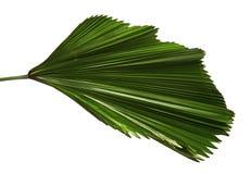 Grandis de Licuala ou palmette hérissée de fan, grand feuillage tropical, feuille plissée d'isolement sur le fond blanc image libre de droits