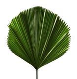 Grandis de Licuala ou palmette hérissée de fan, grand feuillage tropical, feuille plissée d'isolement sur le fond blanc images stock