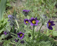 Grandis de Pulsatilla de Pasqueflower- de fleur de ressort Photo stock