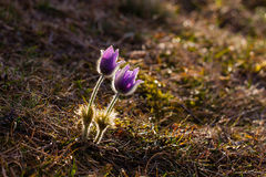 Grandis de Pulsatilla, ou la fleur de pasque plus grande dans le contre-jour Photo stock