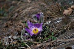 Grandis del Potentilla, fiore di pasque del graeter Fotografia Stock