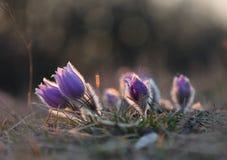 Grandis del Pulsatilla de Pasqueflower- de la flor de la primavera en la puesta del sol Fotografía de archivo