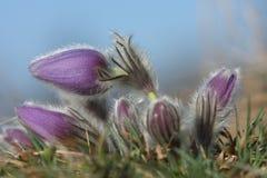 Grandis do Pulsatilla de Pasqueflower- da flor da mola Imagens de Stock