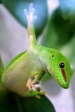 Grandis gigantes del madagascariensis de Phelsuma del Gecko del día Imagen de archivo libre de regalías
