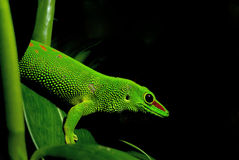 Grandis gigantes do madagascariensis de Phelsuma do Gecko do dia Fotografia de Stock