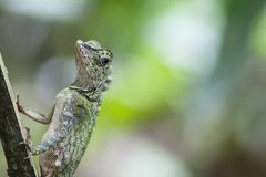 Grandis masculinos bonitos de Gonocephalus do lagarto da cabeça do ângulo foto de stock royalty free