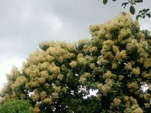 Grandisbloemen van teaktectona stock foto