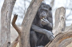 Grandma chimp Royalty Free Stock Images