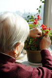 Grandma is cutting flowers Stock Photo