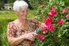 grandma is cutting flowers and red roses in garden
