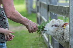 Grandma and a grandchild feeding  a sheep in a  petting zoo Royalty Free Stock Image