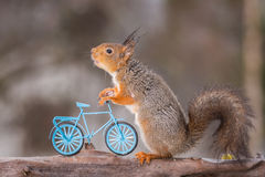 Grandma needs some help. Wet red squirrel standing on tree holding a bicycle stock photography