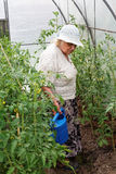 Grandma is watering tomatoes Royalty Free Stock Photo