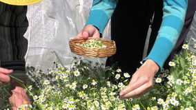 Grandmother with granddaughter gather herbal chamomile flowers stock footage