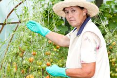 Grandmother grows tomatoes in her garden Stock Photography