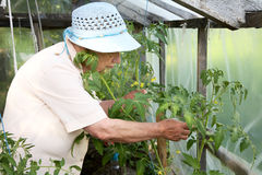 The grandmother looks after with bushes  Stock Images