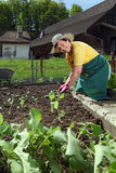 Grandmother planting vegetables Royalty Free Stock Photos