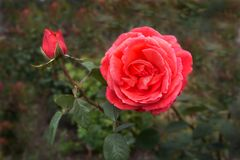 Blooming Red Rose and single bud garden blurred background stock photos