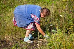 Grandmother tears off the grass in the garden royalty free stock photography