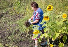 Grandmother tears off the grass in the garden stock photos