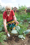 Grandmother weeding cabbage Stock Photos