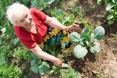 Grandmother weeding cabbage Stock Photography