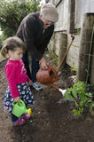 Grandpa and grandchild planting tomato plant. Great grandpa shows his great grandchild how to  use the watering can when dropping water on a fresh tomato plant Royalty Free Stock Photography