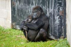 Grandpa monkey with baby monkey Royalty Free Stock Photos
