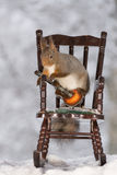 Grandpa squirrel serenade. Close up of red squirrel standing on a chair with a guitar Royalty Free Stock Images