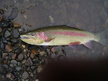 Grandpa Trout is eating well. Alaska and the great outdoors Stock Photography
